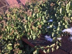 Плющ обыкновенный садовый (Hedera helix) ФОТО Питомник растений Природа (Priroda) (29)
