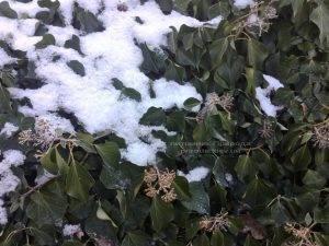 Плющ обыкновенный садовый (Hedera helix) ФОТО Питомник растений Природа (Priroda) (18)