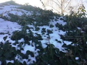 Плющ обыкновенный садовый (Hedera helix) ФОТО Питомник растений Природа (Priroda) (19)