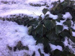 Плющ обыкновенный садовый (Hedera helix) ФОТО Питомник растений Природа (Priroda) (20)