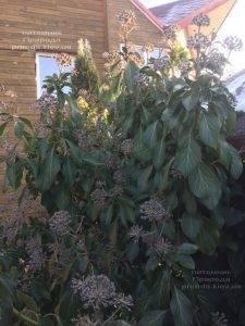 Плющ обыкновенный садовый (Hedera helix) ФОТО Питомник растений Природа (Priroda)