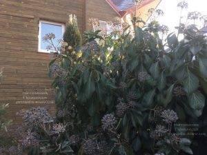 Плющ обыкновенный садовый (Hedera helix) ФОТО Питомник растений Природа (Priroda) (22)