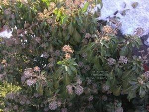Плющ обыкновенный садовый (Hedera helix) ФОТО Питомник растений Природа (Priroda) (23)