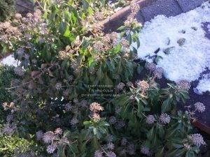 Плющ обыкновенный садовый (Hedera helix) ФОТО Питомник растений Природа (Priroda) (24)
