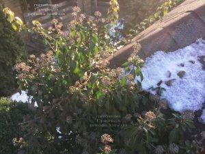 Плющ обыкновенный садовый (Hedera helix) ФОТО Питомник растений Природа (Priroda) (25)