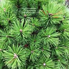 Сосна горная Бенжамин (Pinus mugo Benjamin) ФОТО Питомник растений Природа (Priroda) (144)