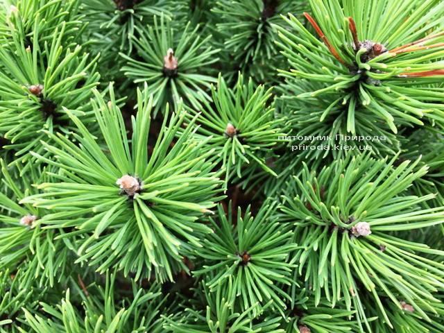 Сосна горная Бенжамин (Pinus mugo Benjamin) ФОТО Питомник растений Природа (Priroda)