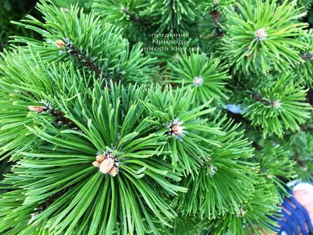 Сосна горная Мумпиц (Pinus mugo Mumpitz) ФОТО Питомник растений Природа (Priroda) (129)