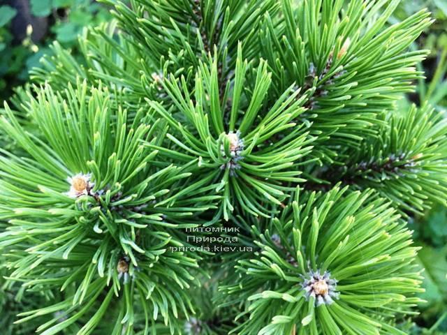 Сосна горная Мумпиц (Pinus mugo Mumpitz) ФОТО Питомник растений Природа (Priroda) (130)