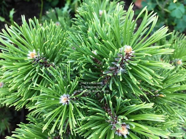 Сосна горная Мумпиц (Pinus mugo Mumpitz) ФОТО Питомник растений Природа (Priroda) (131)