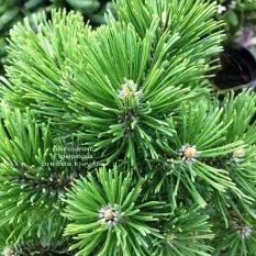 Сосна горная Мумпиц (Pinus mugo Mumpitz) ФОТО Питомник растений Природа (Priroda)