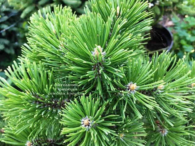 Сосна горная Мумпиц (Pinus mugo Mumpitz) ФОТО Питомник растений Природа (Priroda) (132)