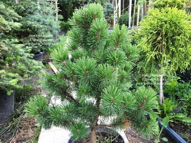 Сосна горная Мумпиц (Pinus mugo Mumpitz) ФОТО Питомник растений Природа (Priroda) (133)
