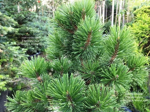 Сосна горная Мумпиц (Pinus mugo Mumpitz) ФОТО Питомник растений Природа (Priroda) (134)
