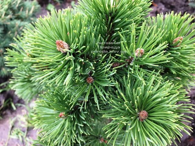 Сосна горная Мумпиц (Pinus mugo Mumpitz) ФОТО Питомник растений Природа (Priroda) (135)