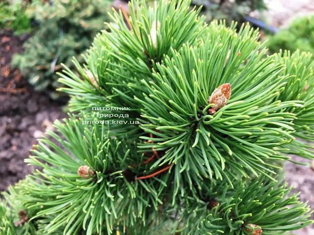Сосна горная Мумпиц (Pinus mugo Mumpitz) ФОТО Питомник растений Природа (Priroda) (136)