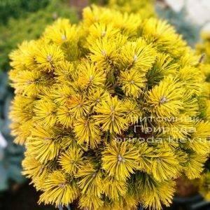 Сосна горная Винтер Голд (Pinus mugo Winter Gold) ФОТО Питомник растений Природа (Priroda) (137)