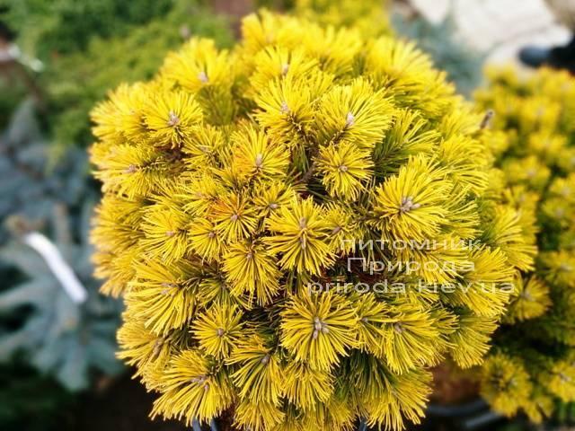 Сосна горная Винтер Голд (Pinus mugo Winter Gold) ФОТО Питомник растений Природа (Priroda)