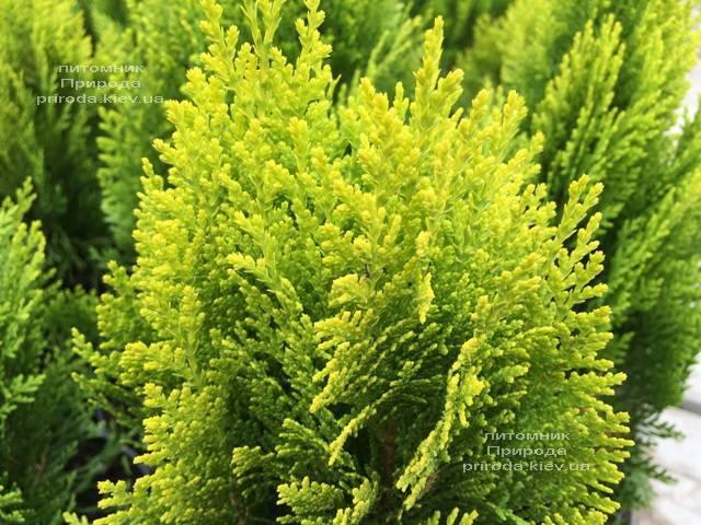 Туя восточная Морган (Thuja orientalis Morgan) ФОТО Питомник растений Природа (Priroda) (92)