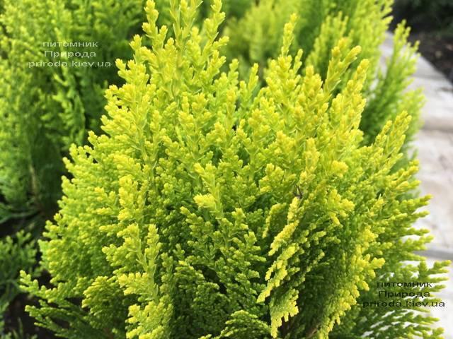 Туя восточная Морган (Thuja orientalis Morgan) ФОТО Питомник растений Природа (Priroda)