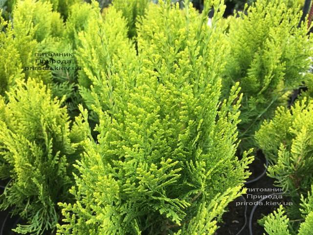 Туя восточная Морган (Thuja orientalis Morgan) ФОТО Питомник растений Природа (Priroda) (94)
