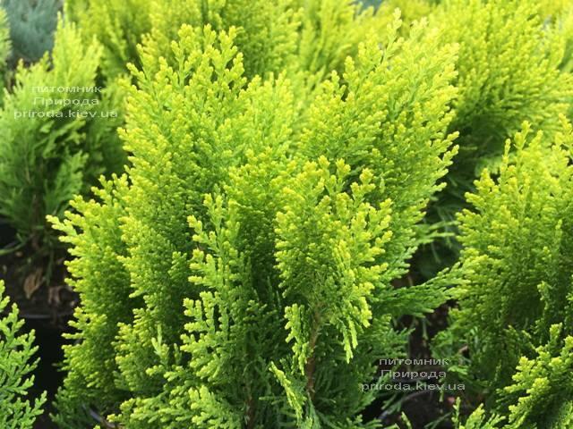 Туя восточная Морган (Thuja orientalis Morgan) ФОТО Питомник растений Природа (Priroda) (95)