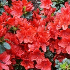 Азалия японская Фридолайн (Rhododendron Fridoline) ФОТО Питомник растений Природа (Priroda) (1)
