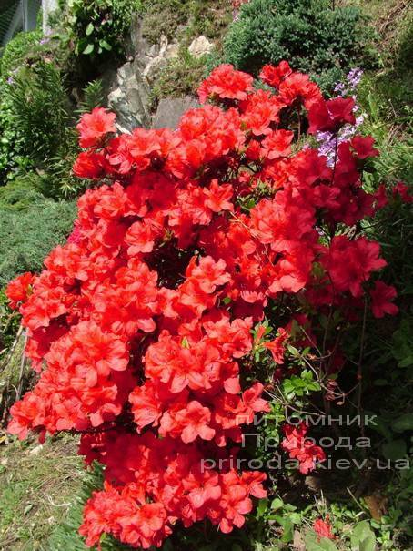 Азалия японская Фридолайн (Rhododendron Fridoline) ФОТО Питомник растений Природа (Priroda) (2)