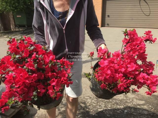Азалия японская Фридолайн (Rhododendron Fridoline) ФОТО Питомник растений Природа (Priroda) (4)