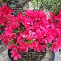Азалия японская Марушка (Rhododendron Marushka) ФОТО Питомник растений Природа (Priroda) (4)