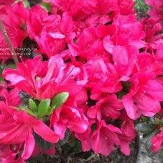 Азалия японская Марушка (Rhododendron Marushka) ФОТО Питомник растений Природа (Priroda) (5)