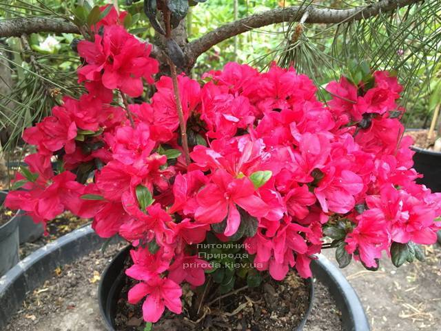 Азалия японская Марушка (Rhododendron Marushka) ФОТО Питомник растений Природа (Priroda) (6)