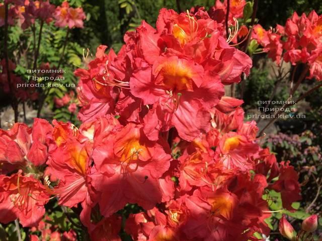 Азалия крупноцветковая Джуанита (Рододендрон листопадный Rhododendron Juanita) ФОТО Питомник растений Природа (Priroda) (6)