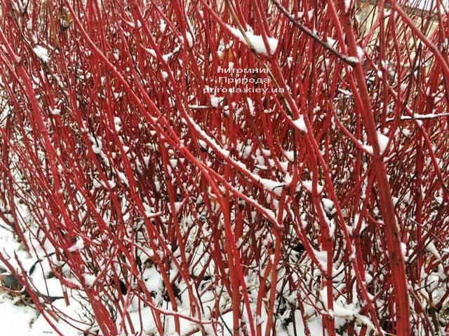 Дерен белый Элегантиссима (Cornus alba Elegantissima) ФОТО Питомник растений Природа (Priroda) (36)