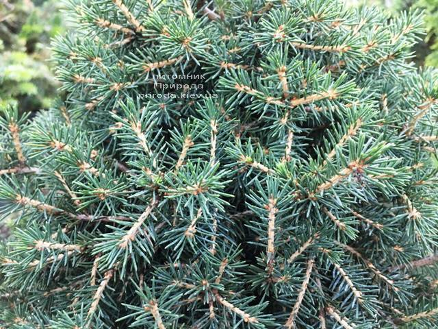 Ель обыкновенная Данс Дварф (Picea abies Dan's Dwarf) ФОТО Питомник растений Природа (Priroda)