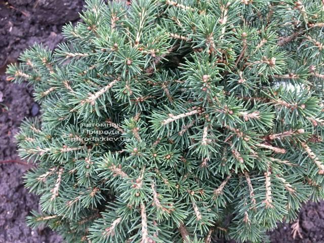 Ель обыкновенная Данс Дварф (Picea abies Dan's Dwarf) ФОТО Питомник растений Природа (Priroda) (352)