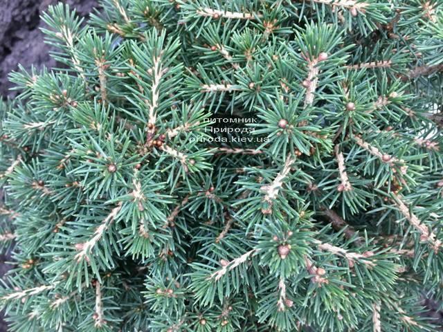 Ель обыкновенная Данс Дварф (Picea abies Dan's Dwarf) ФОТО Питомник растений Природа (Priroda) (353)