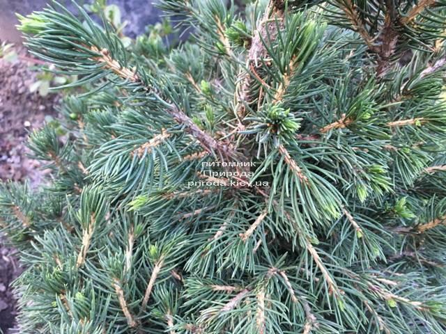 Ель обыкновенная Томпа (Picea abies Tompa) ФОТО Питомник растений Природа (Priroda) (355)