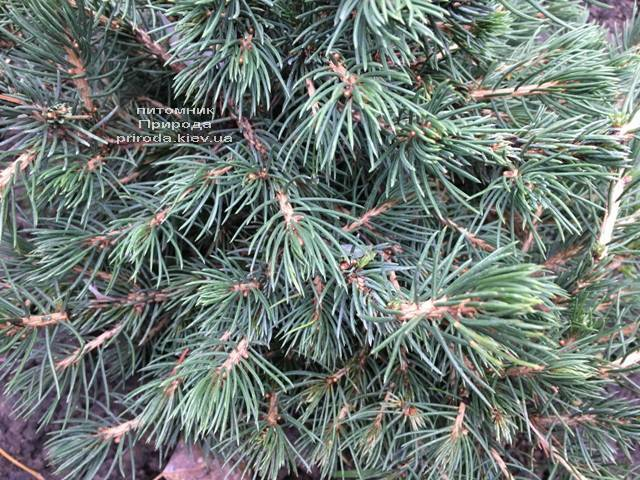 Ель обыкновенная Томпа (Picea abies Tompa) ФОТО Питомник растений Природа (Priroda)