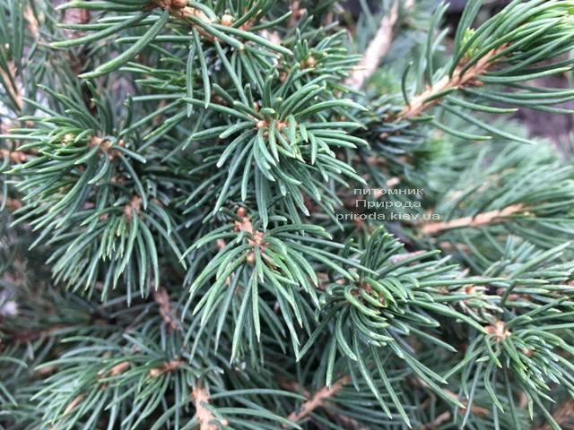 Ель обыкновенная Томпа (Picea abies Tompa) ФОТО Питомник растений Природа (Priroda) (357)