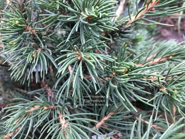 Ель обыкновенная Томпа (Picea abies Tompa) ФОТО Питомник растений Природа (Priroda) (358)