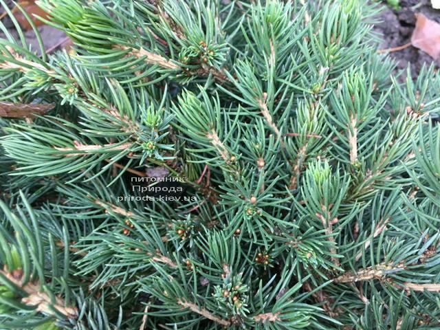 Ель обыкновенная Томпа (Picea abies Tompa) ФОТО Питомник растений Природа (Priroda) (359)