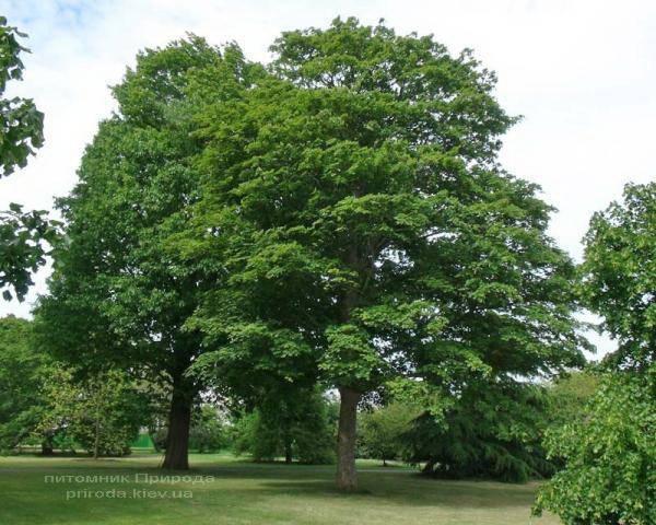Клен остролистный (Acer platanoides) ФОТО Питомник растений Природа (Priroda) (1)