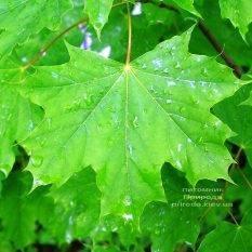 Клен остролистный (Acer platanoides) ФОТО Питомник растений Природа (Priroda) (42)