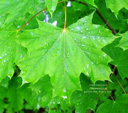 Клен остролистный (Acer platanoides) ФОТО Питомник растений Природа (Priroda) (4)