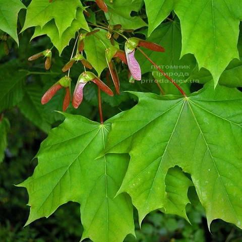 Клен остролистный (Acer platanoides) ФОТО Питомник растений Природа (Priroda) (5)
