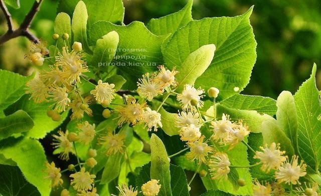 Липа мелколистная (Tilia cordata) ФОТО Питомник растений Природа (Priroda) (5)