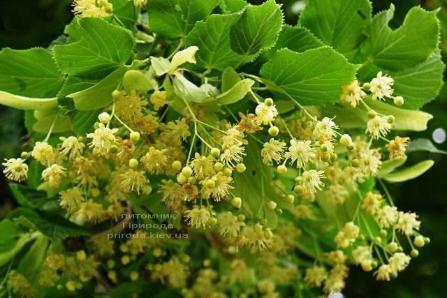 Липа мелколистная (Tilia cordata) ФОТО Питомник растений Природа (Priroda) (7)
