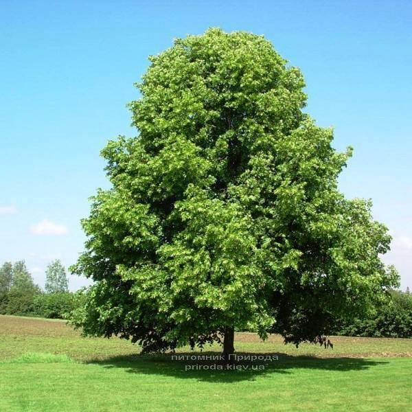 Липа мелколистная (Tilia cordata) ФОТО Питомник растений Природа (Priroda) (8)
