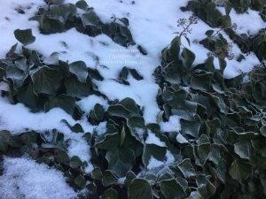 Плющ садовый вечнозелёный обыкновенный зимой на улице ФОТО Питомник растений Природа (Priroda) (30)